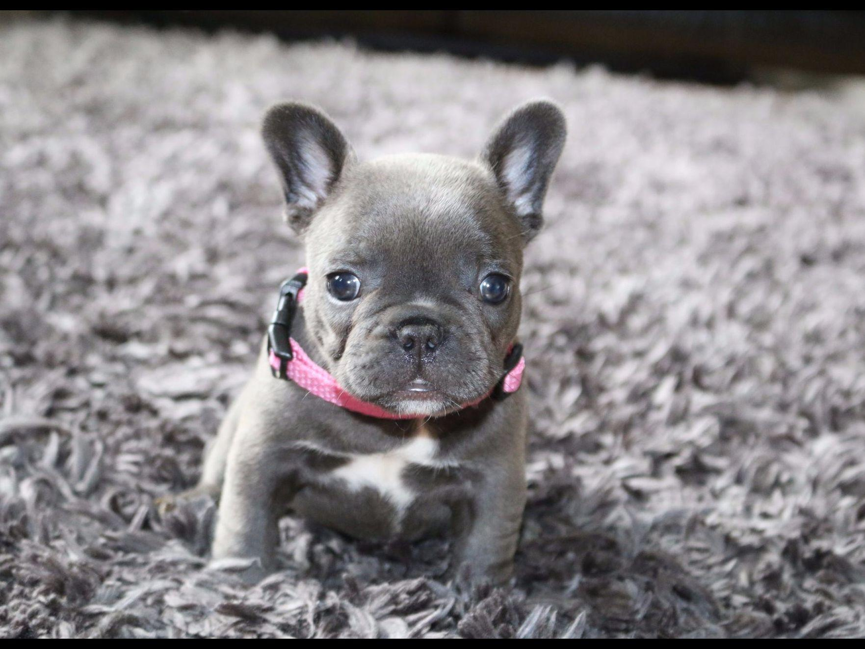 french bulldog puppies for sale in ms exquisite french bulldogs french bulldog puppies for sale 1549