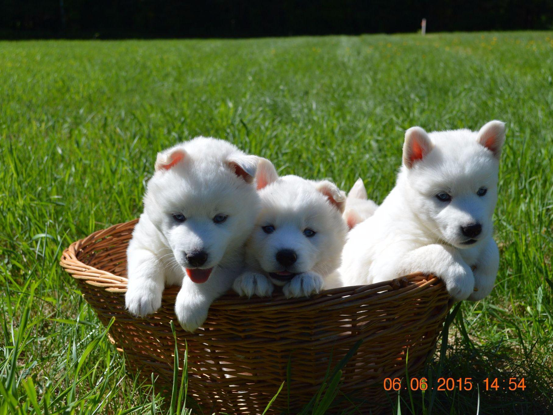 Snow Wooly Husky Puppies For Sale
