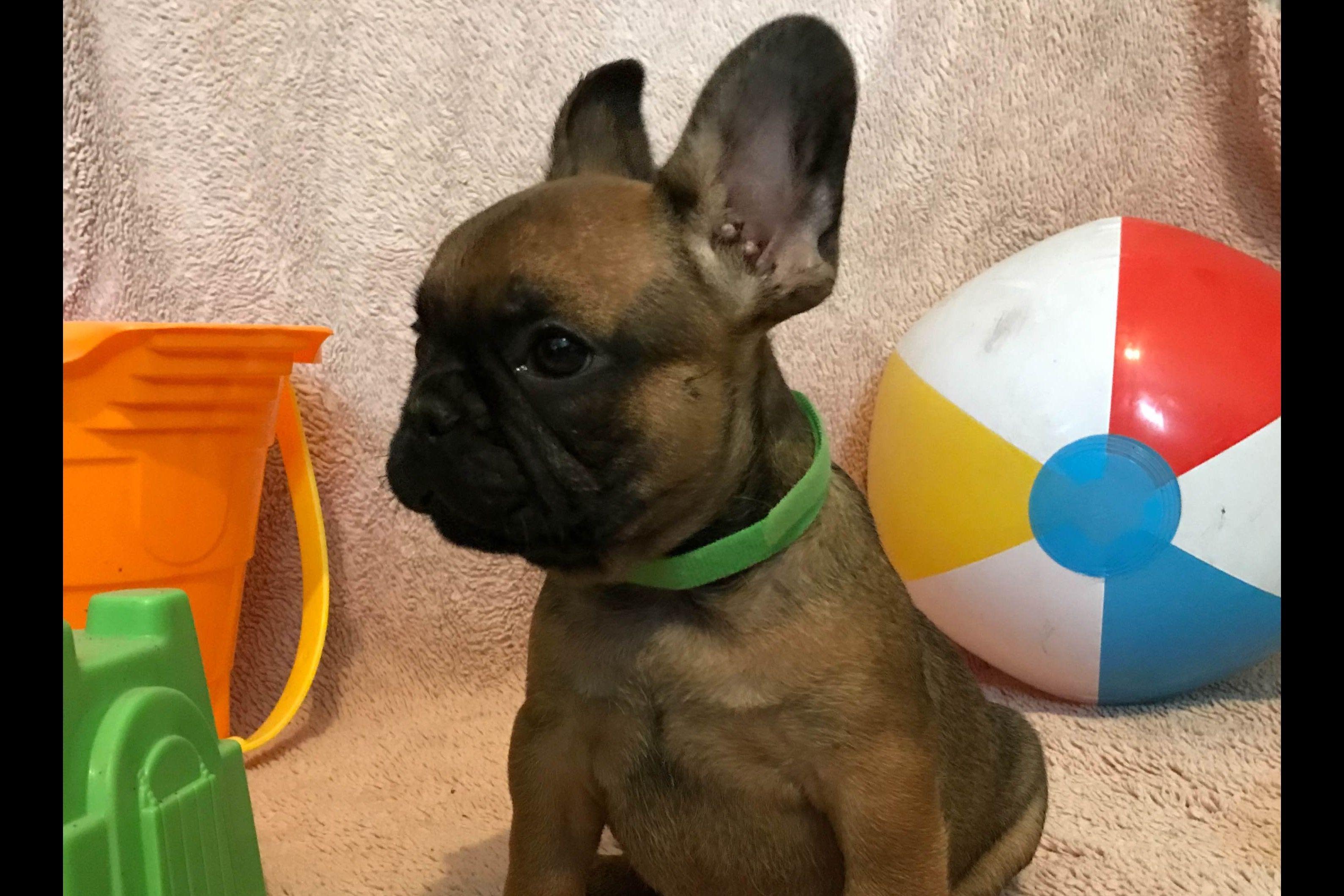 Joshua Frankos Spark Plug French Bulldogs