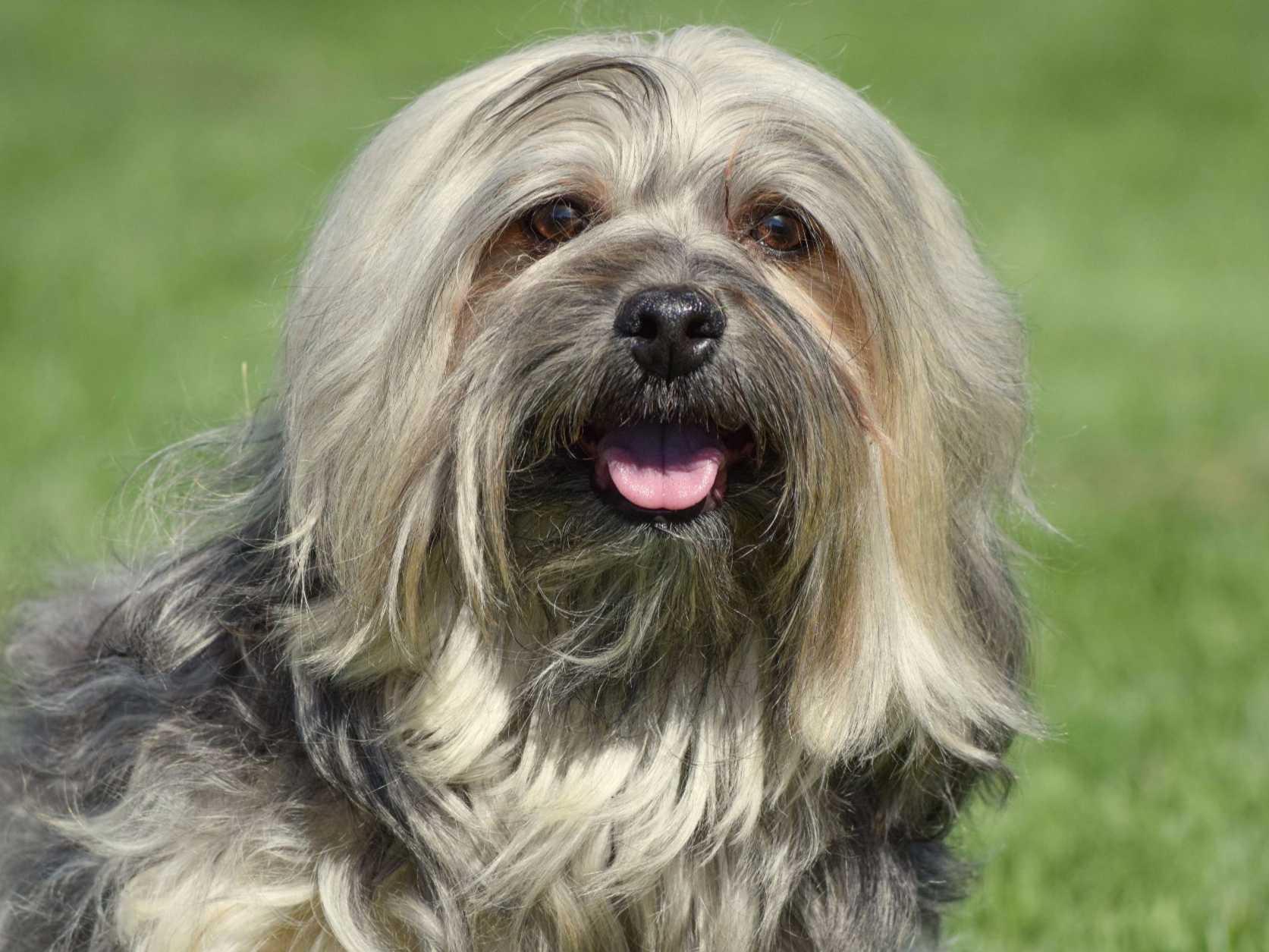 Carita Havanese - Puppies For Sale