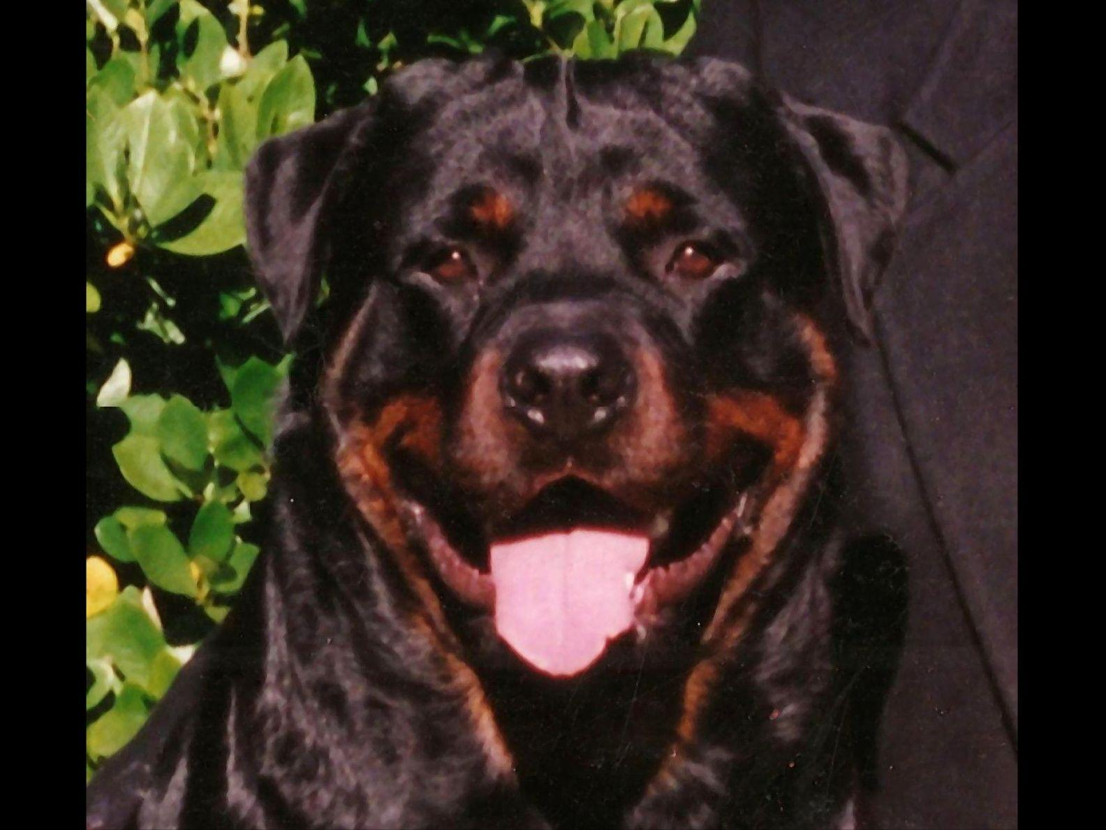 Silverhill Rottweilers Puppies For Sale