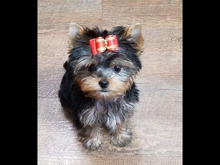 Tyava Yorkies Puppies For Sale