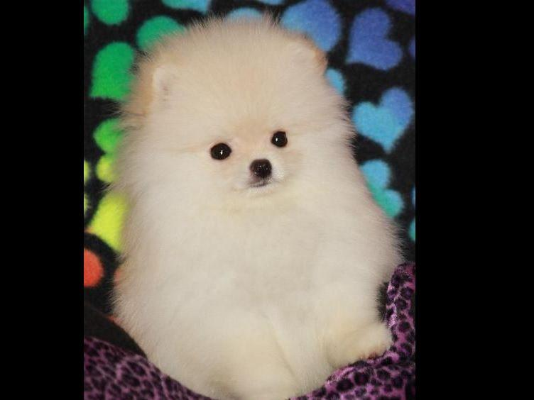 pomeranian breeders michigan char s pomeranians pomeranian puppies for sale 2246