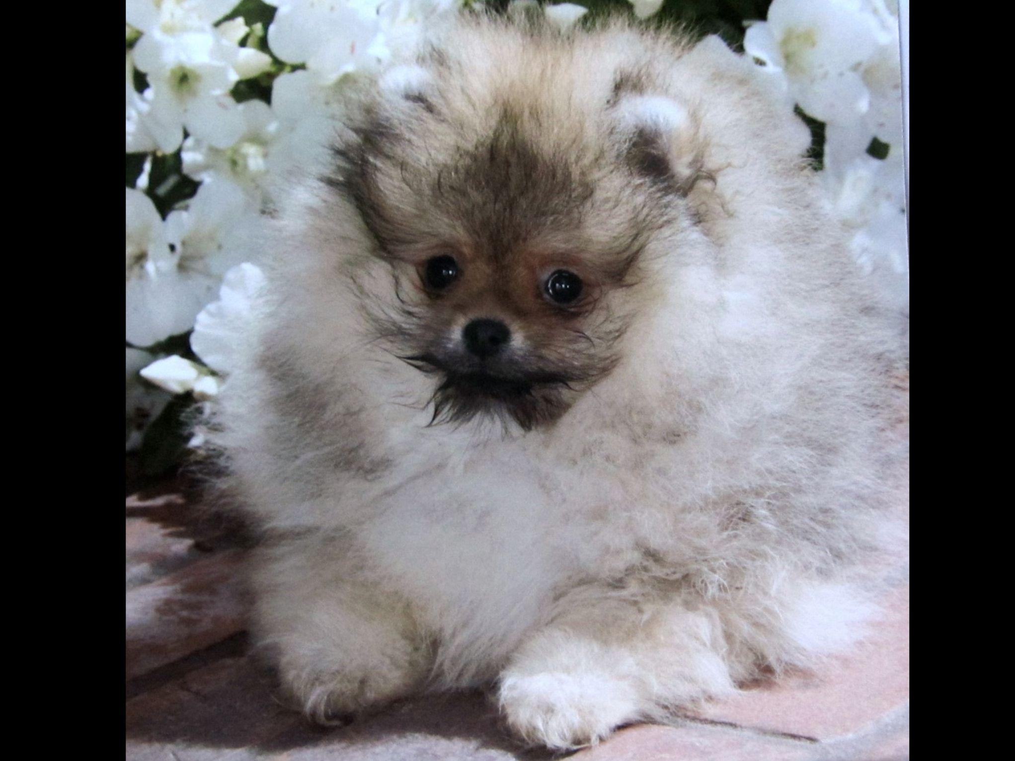 pomeranian club of america pomeranian for sale by eva kleinberg american kennel club 9946