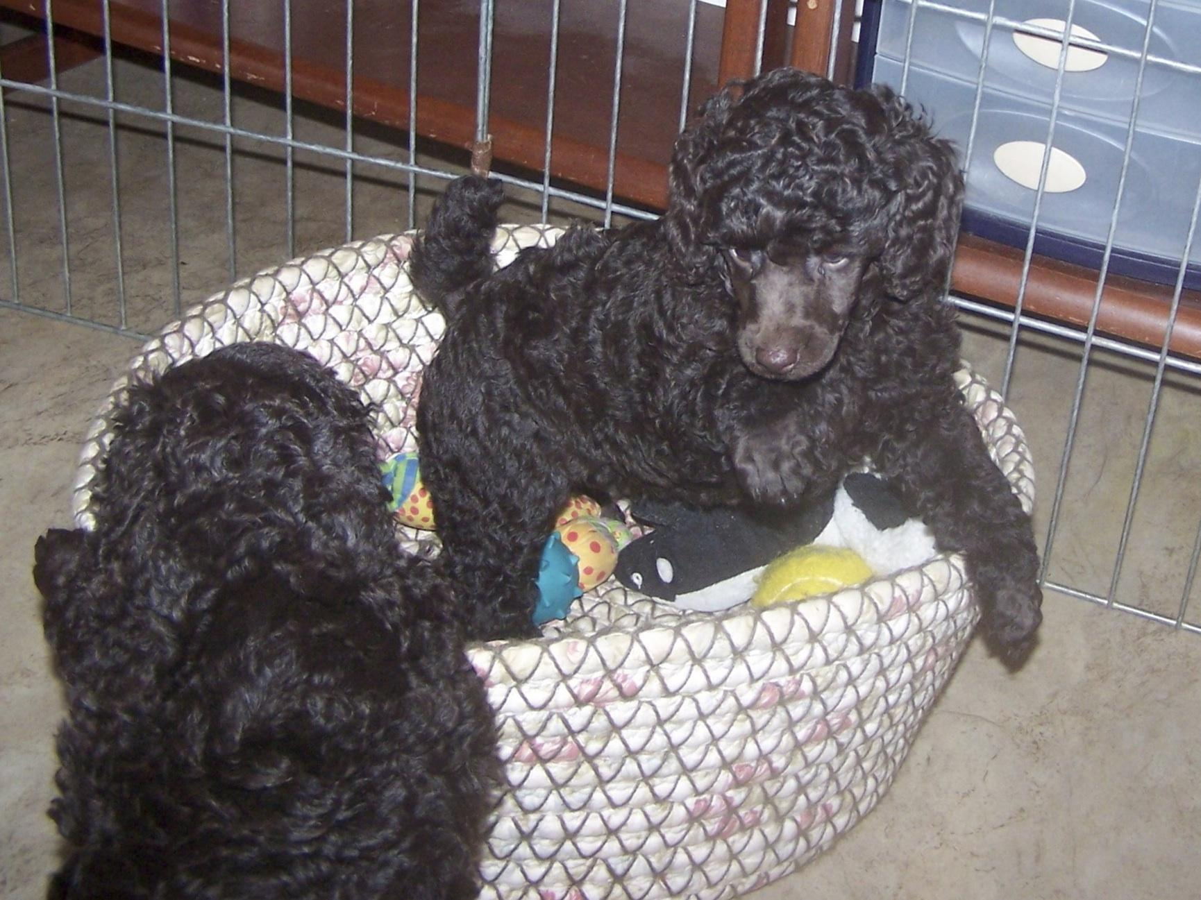 POODLE MINIATURE PUPPIES-BAR KING POODLES - Puppies For Sale