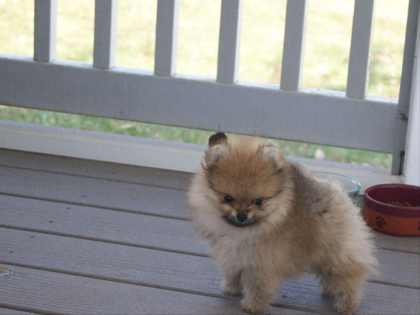 pomeranian club of america pomeranian for sale by christine bousquet american 7833