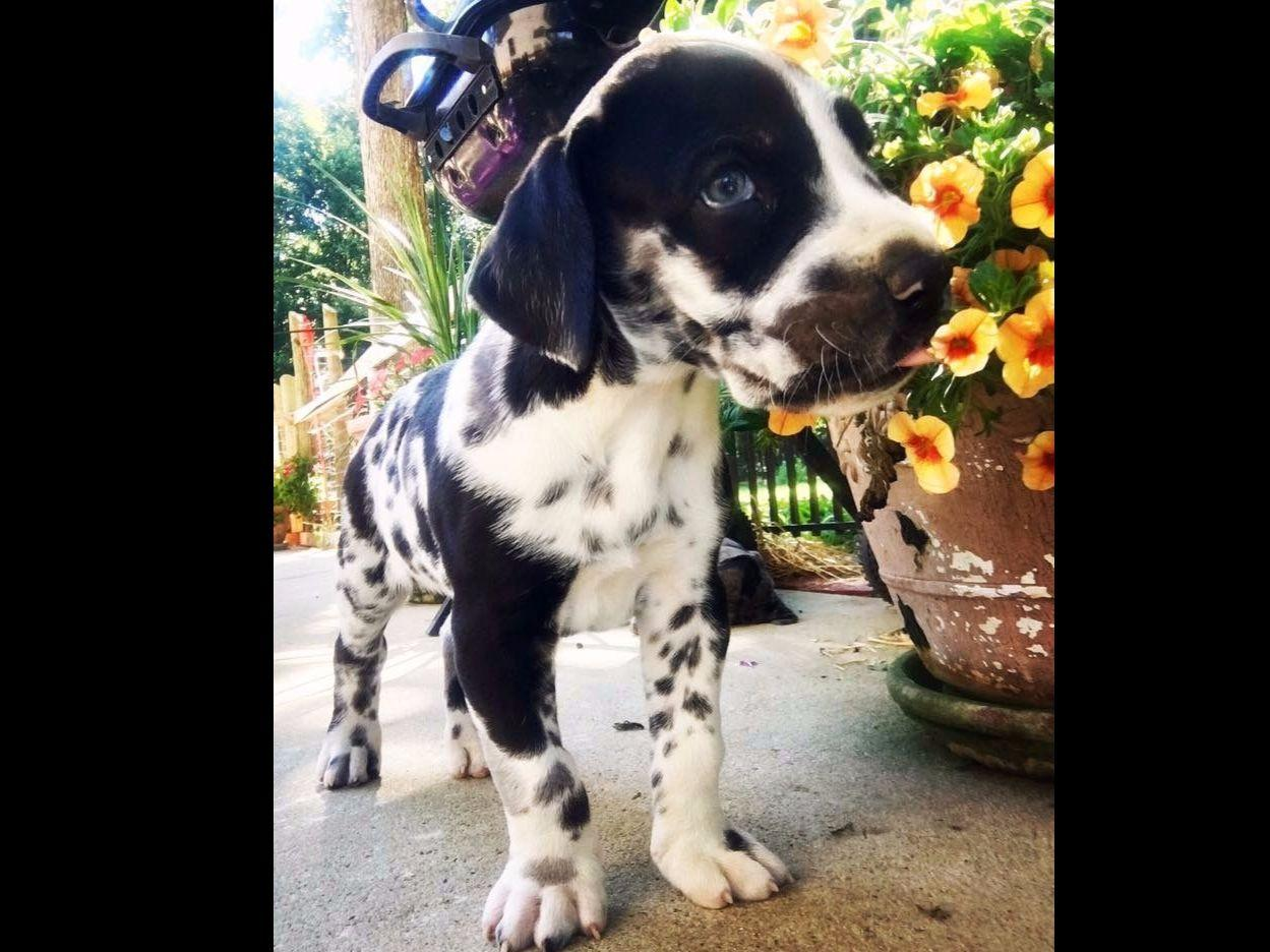 Garners Great Danes Of The Carolinas Puppies For Sale