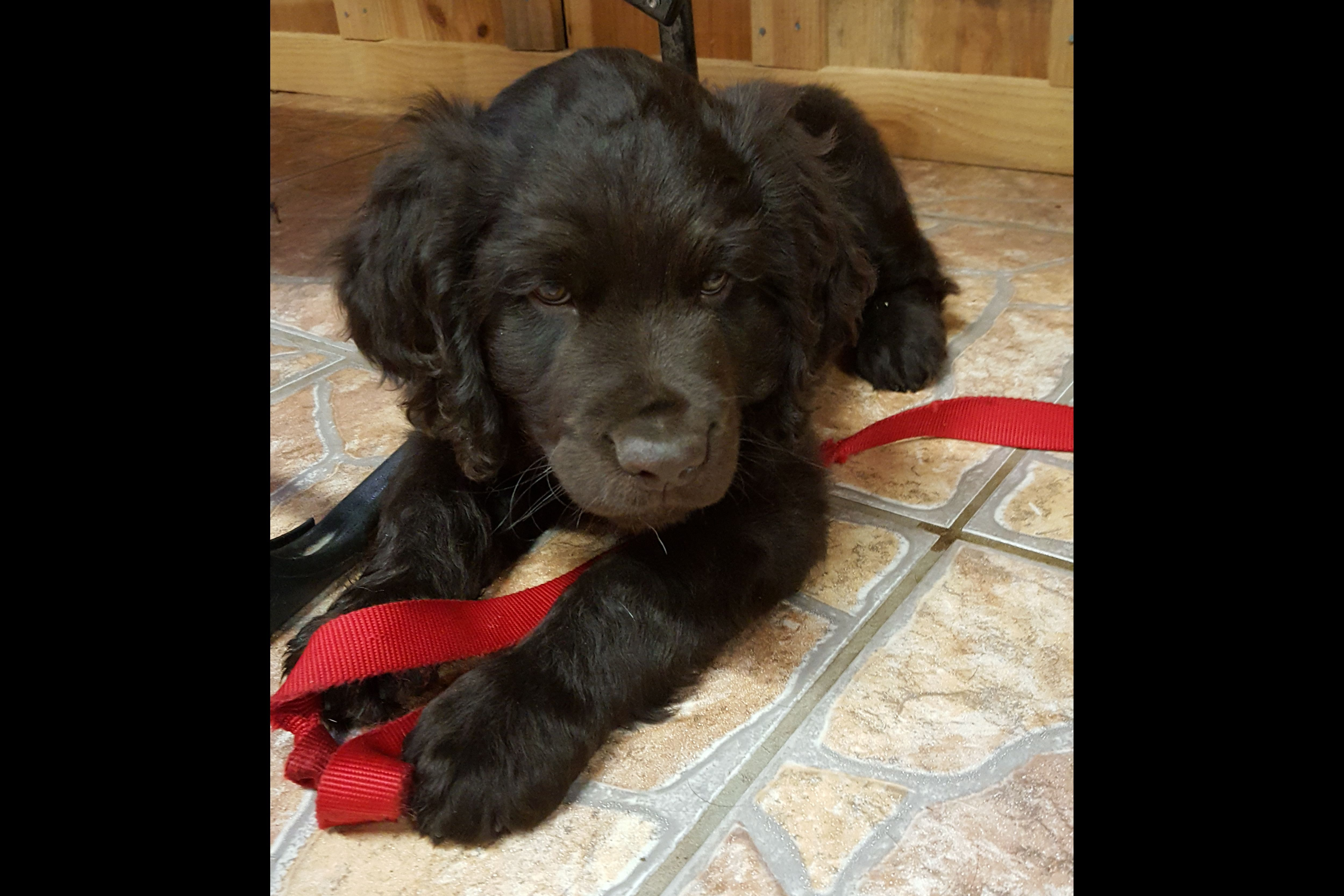 Jimmy Wright Boykin Spaniel Puppies For Sale Born On 07162018