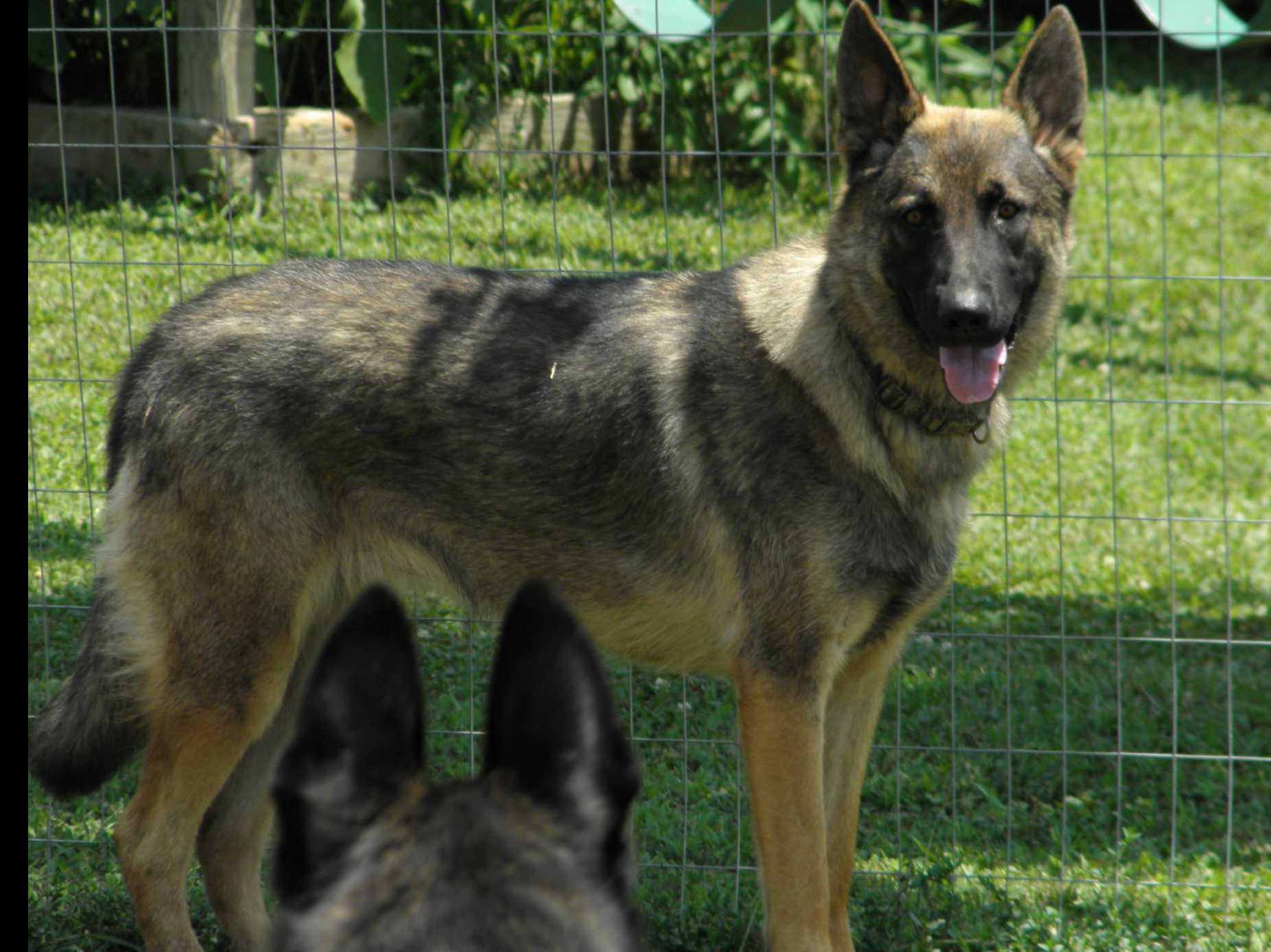 Bradford S K 9 Corral Puppies For Sale