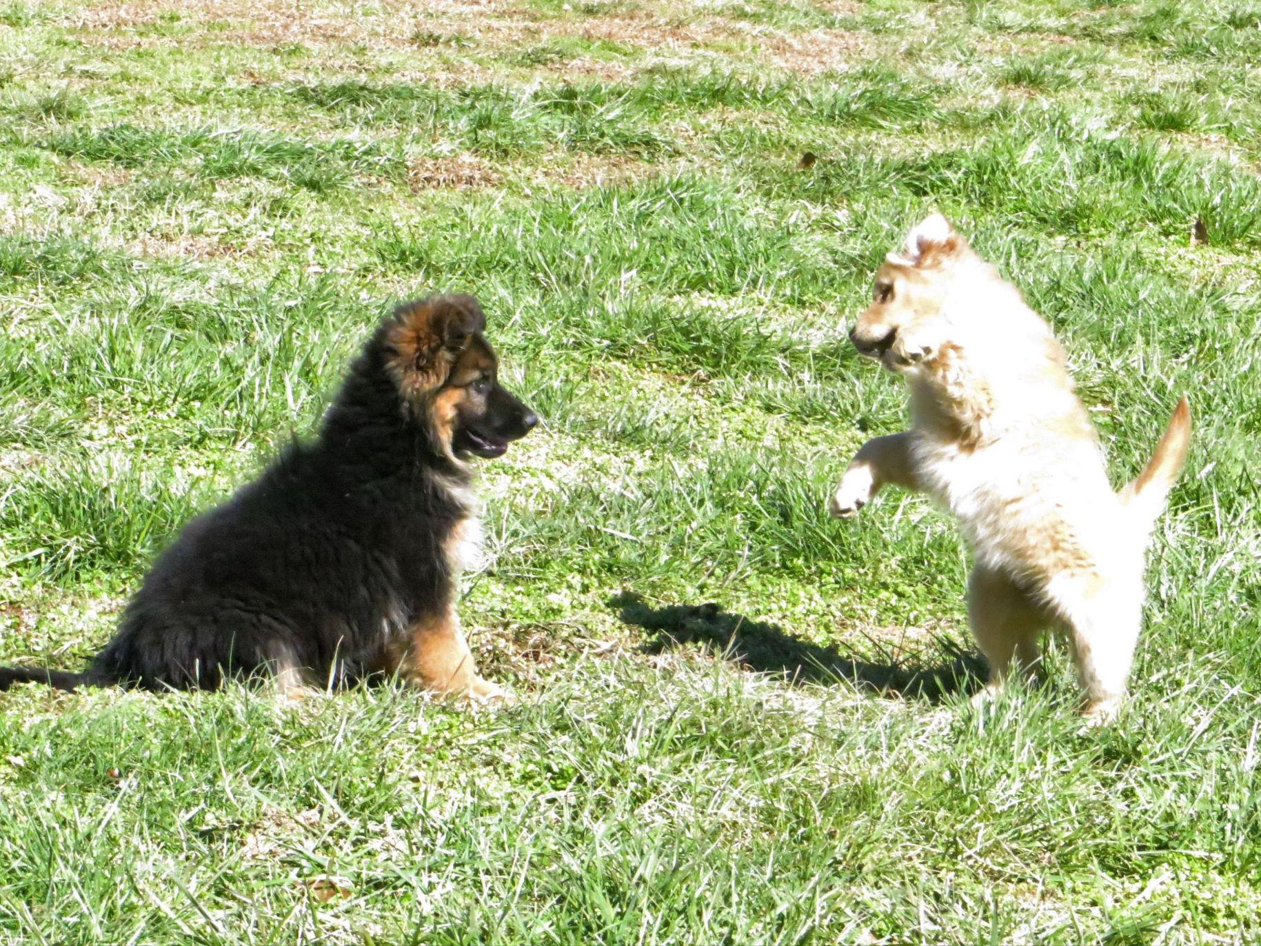 Creekwood Acres - Puppies For Sale