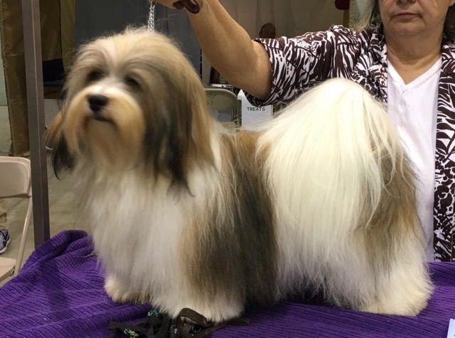 Gemstone Havanese - Puppies For Sale