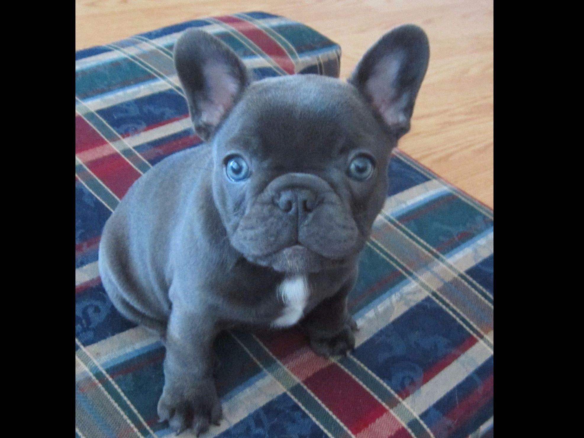 french bulldog tan blue and tan french bulldogs puppies for sale 1286