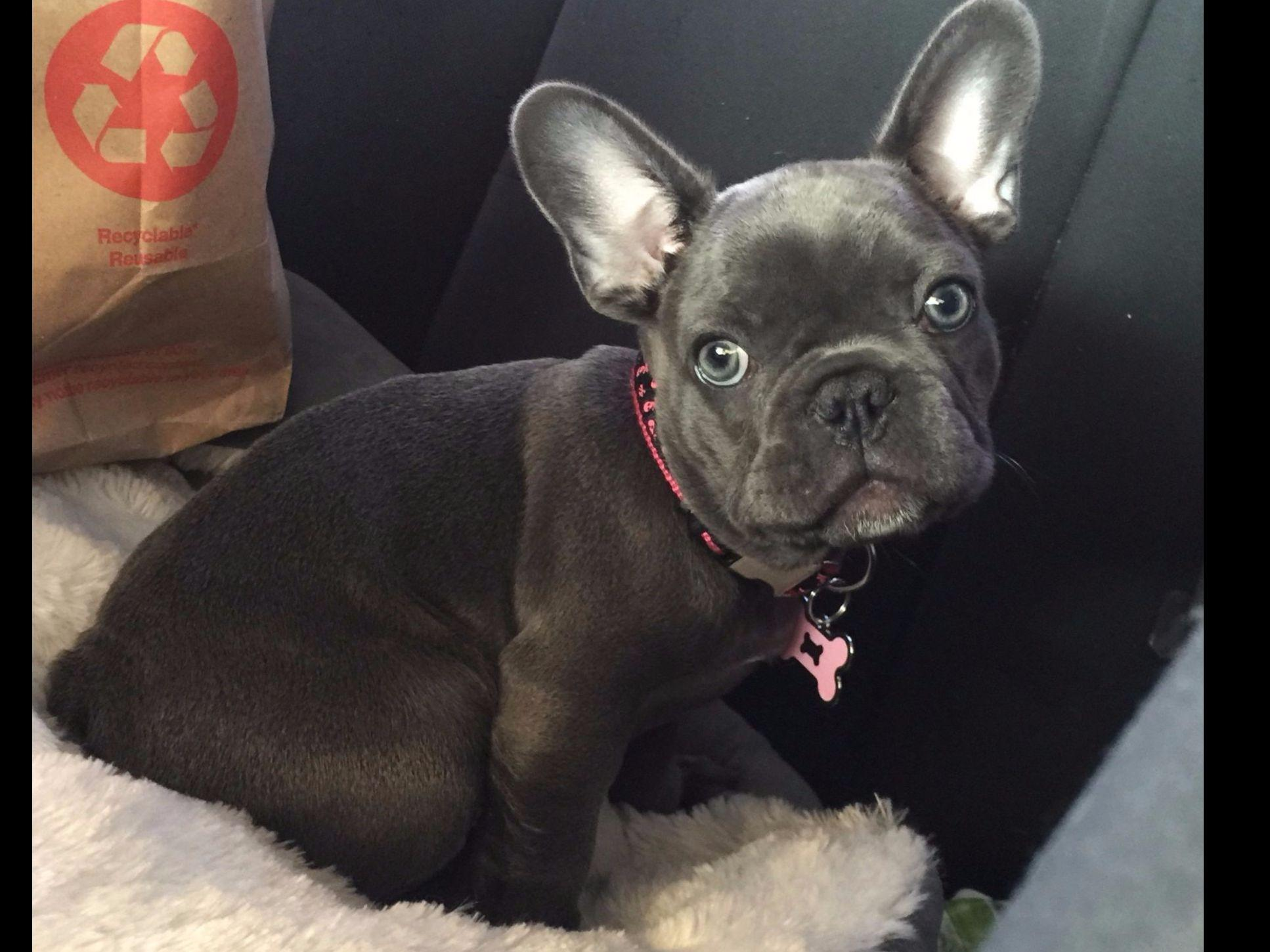 french bulldog tan blue and tan french bulldogs french bulldog puppies for sale 4676