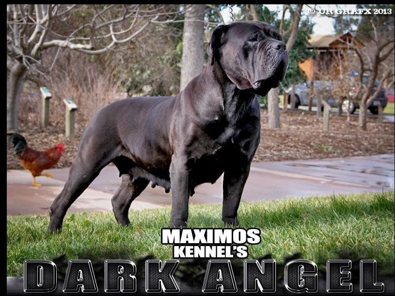Maximos Kennel Puppies For Sale