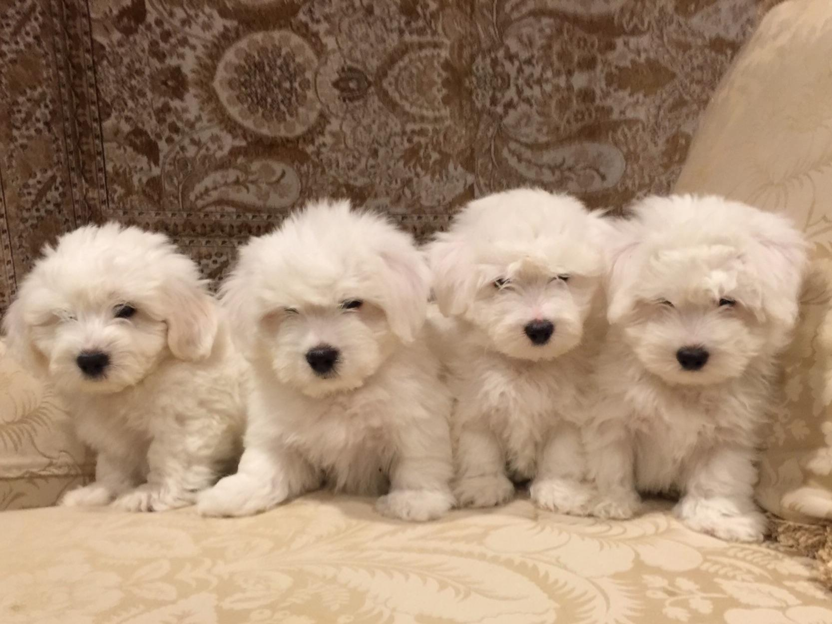 SHE Bichons And Cotons - Puppies For Sale