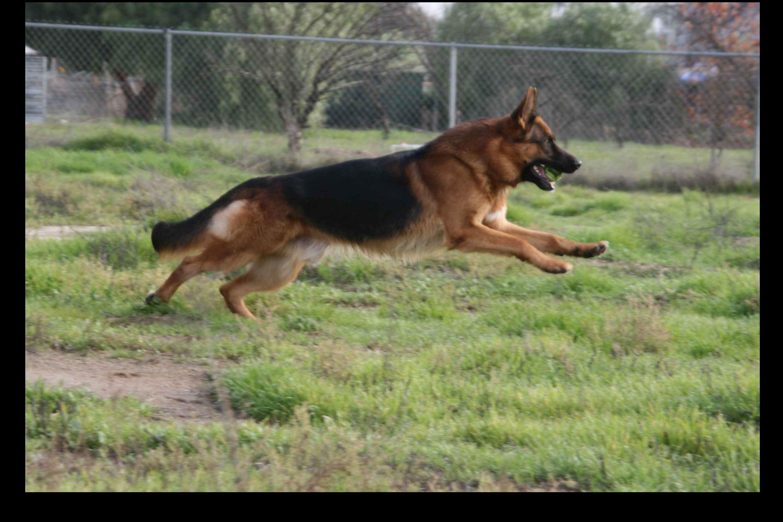 West Coast German Shepherds - Puppies For Sale