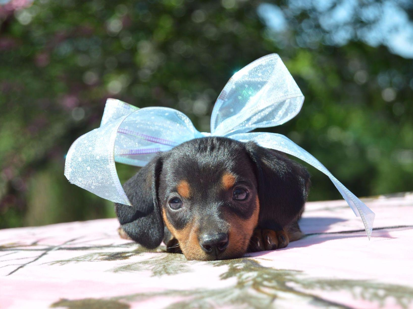Ten Waters Miniature And Toy Dachshunds - Puppies For Sale