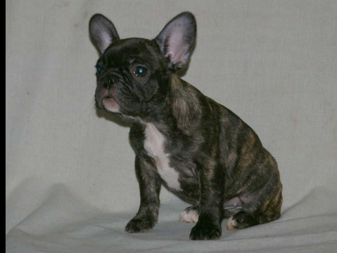 french bulldog for sale in pa french bulldog puppies for sale in pennsylvania akc 4392