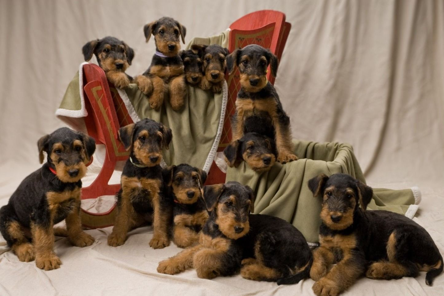 Aberdeen Airedales Puppies For Sale