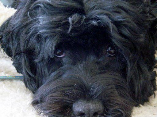 Cutwater Portuguese Water Dogs Puppies For Sale