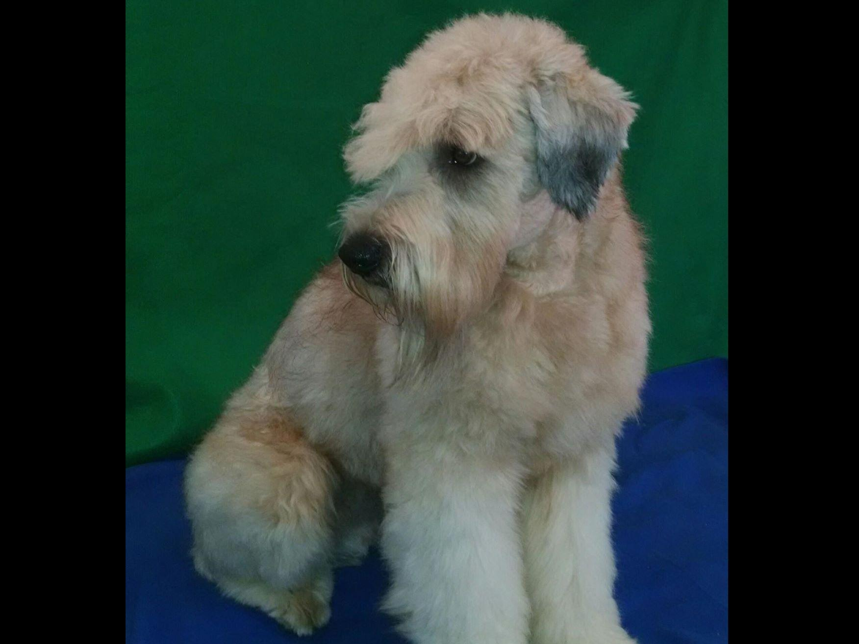 soft coated wheaten terrier for sale wheatens of rocky run soft coated wheaten terrier 7401