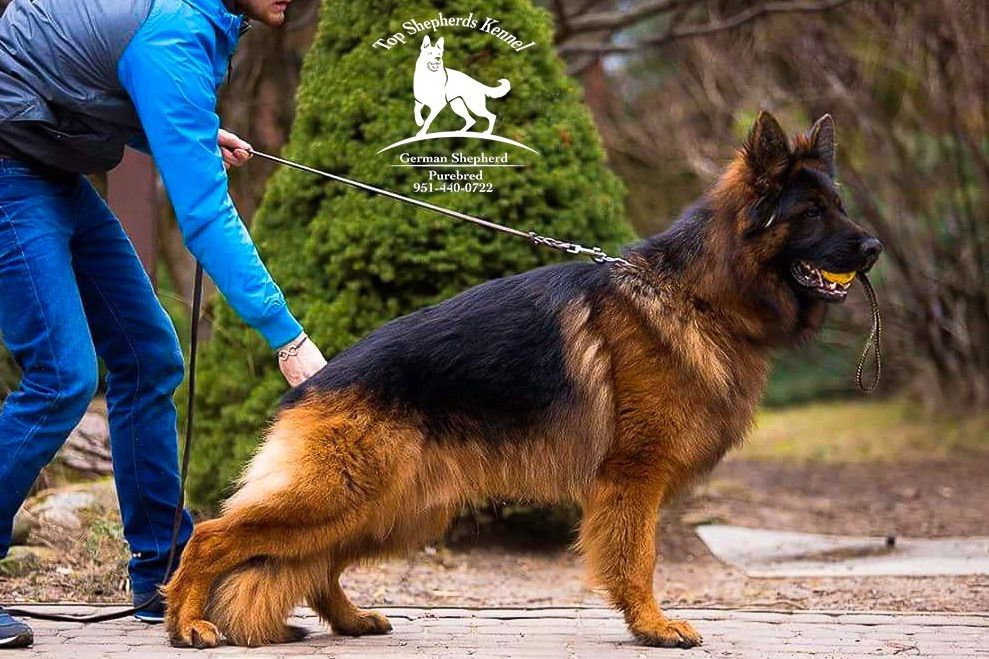 German Shepherds Top World German Champion Bloodlines - Puppies For Sale