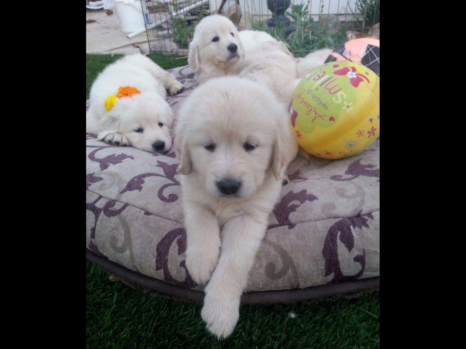 English Cream Golden Retrievers SD - Puppies For Sale