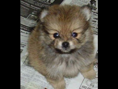 Lauras Precious Pomeranians Puppies For Sale