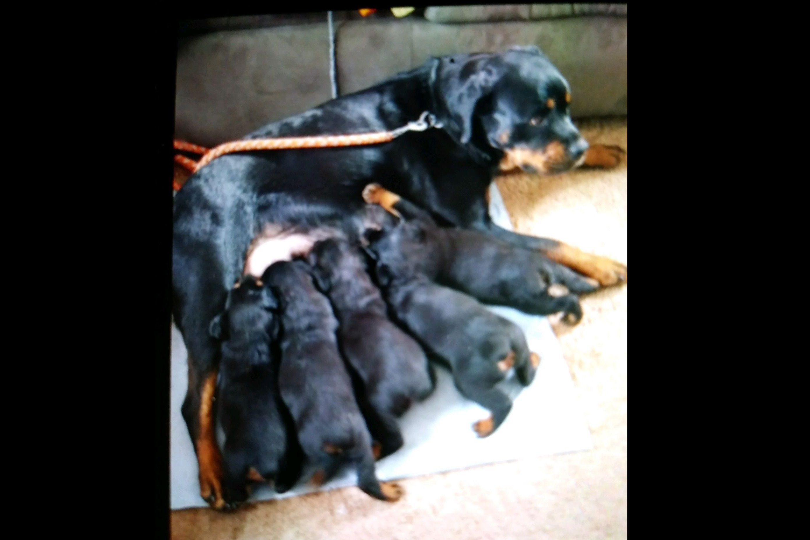 Deb Bailey Rottweiler Puppies For Sale Born On 06292018