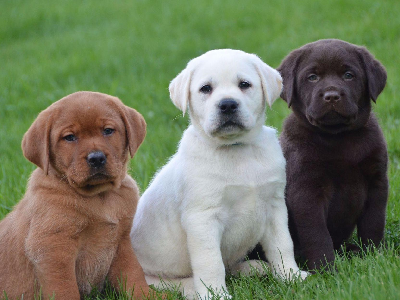 English Lab Puppy Family Loved Labs Puppies For Sale