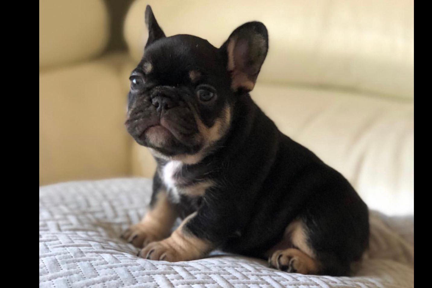 Fairytale Frenchies Puppies For Sale