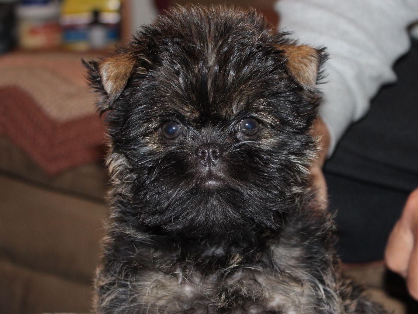 Edan Hill Affenpinschers - Puppies For Sale-8570