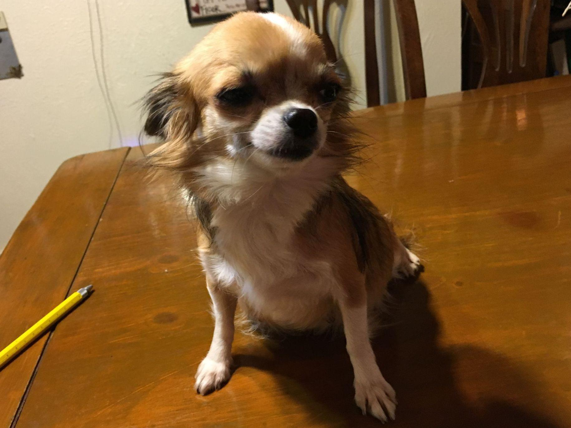 chihuahua puppies for sale in michigan chihuahua puppies for sale akc marketplace 5563