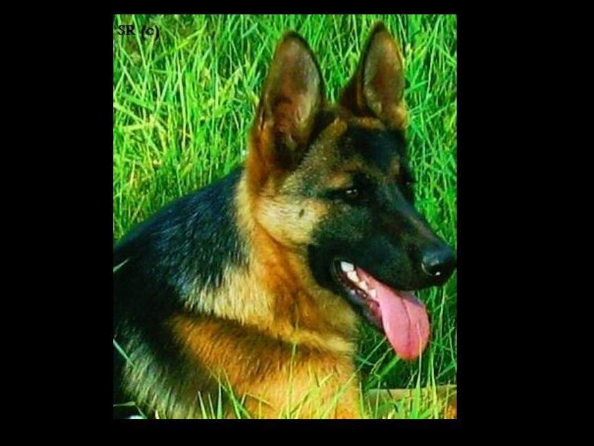 Sherman Ranch German Shepherd Breeders Puppies For Sale