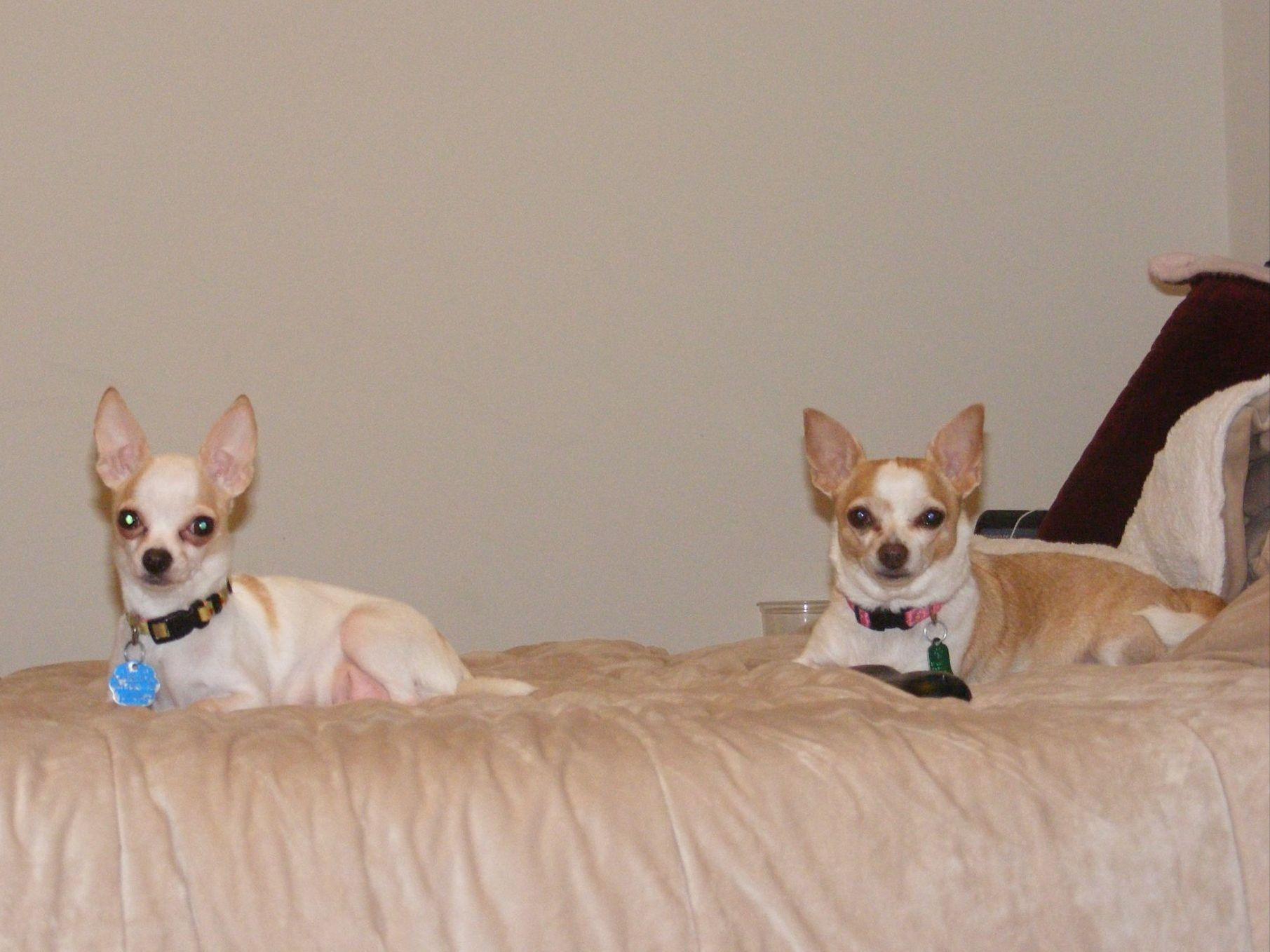 Virginia's Royal Chihuahuas And Virginia's Royal Great ...