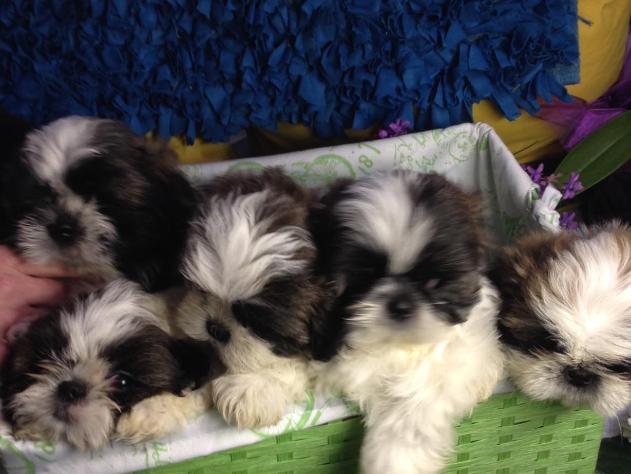 tiny shih tzu puppies for sale arizona akc shih tzu breeder - HD1229×922