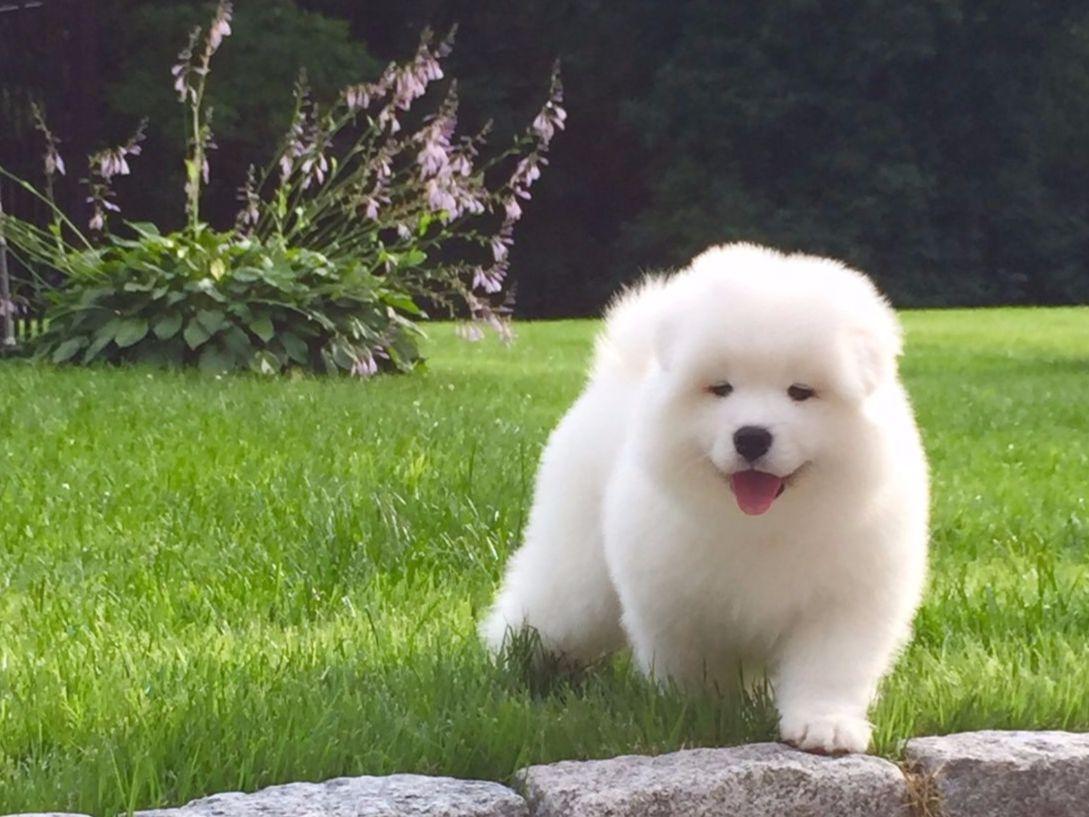 White Magic Samoyeds - Puppies For Sale
