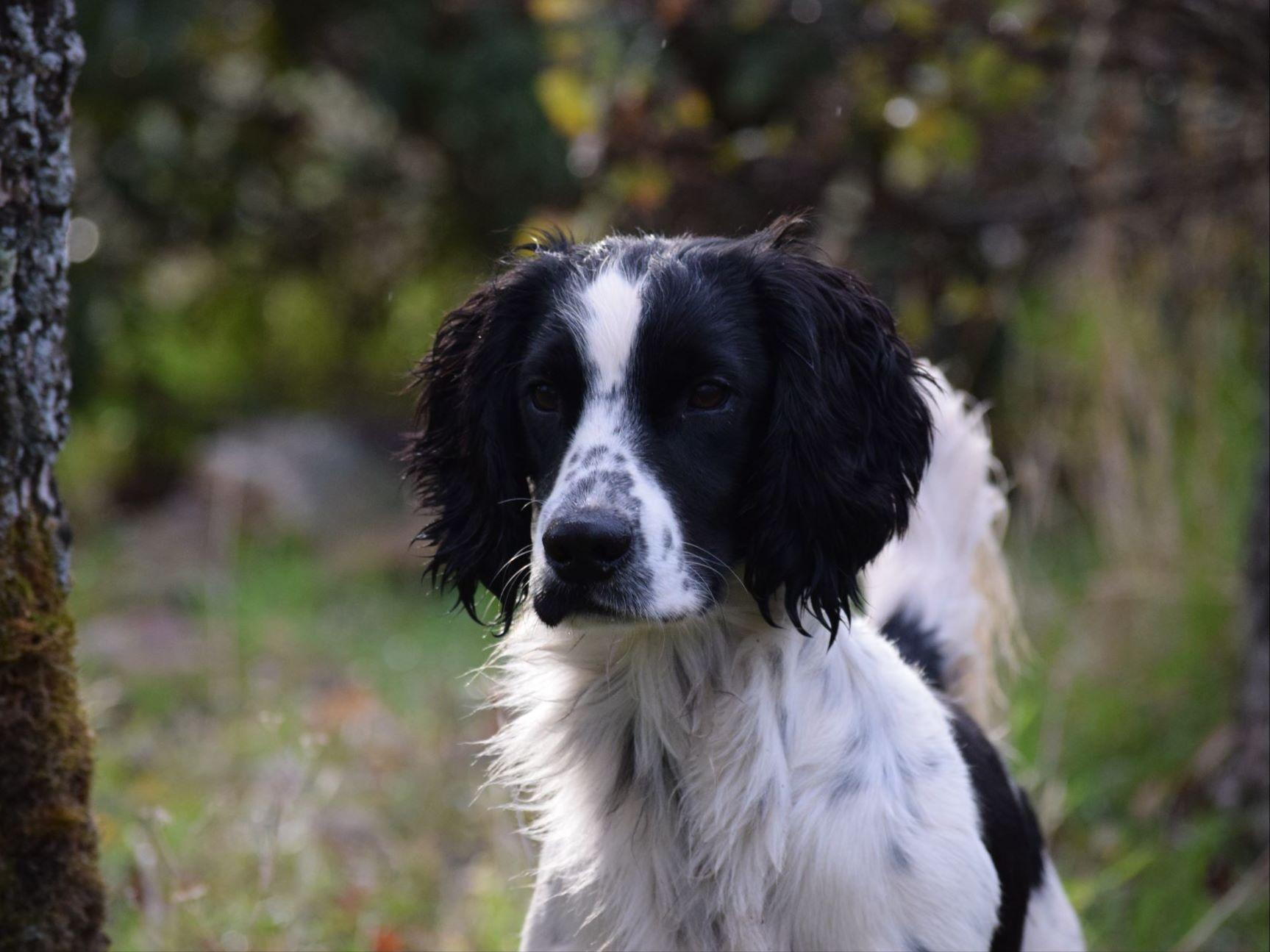 Lowe's Sporting Spaniels - Puppies For Sale
