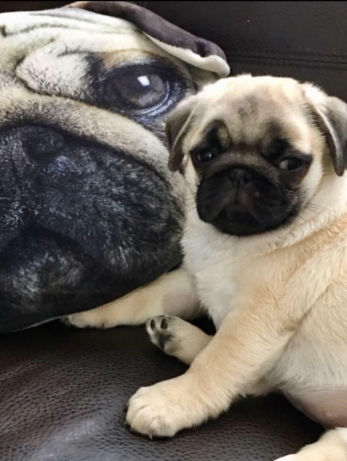 The Pug Patch - Puppies For Sale