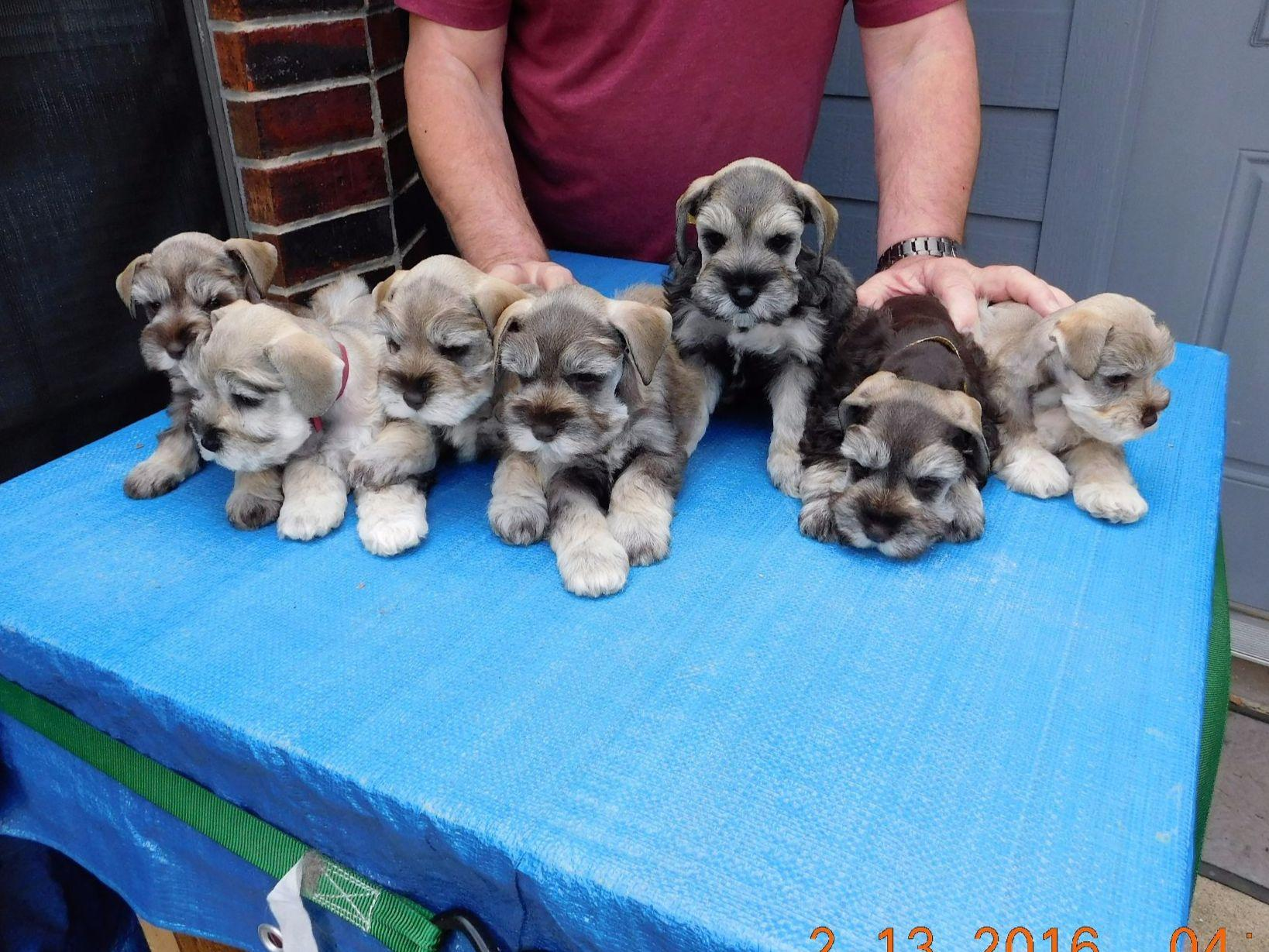 Ww Baxter Puppies For Sale