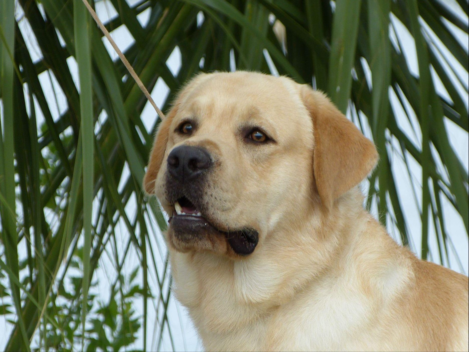 Grandquest Labradors - Puppies For Sale
