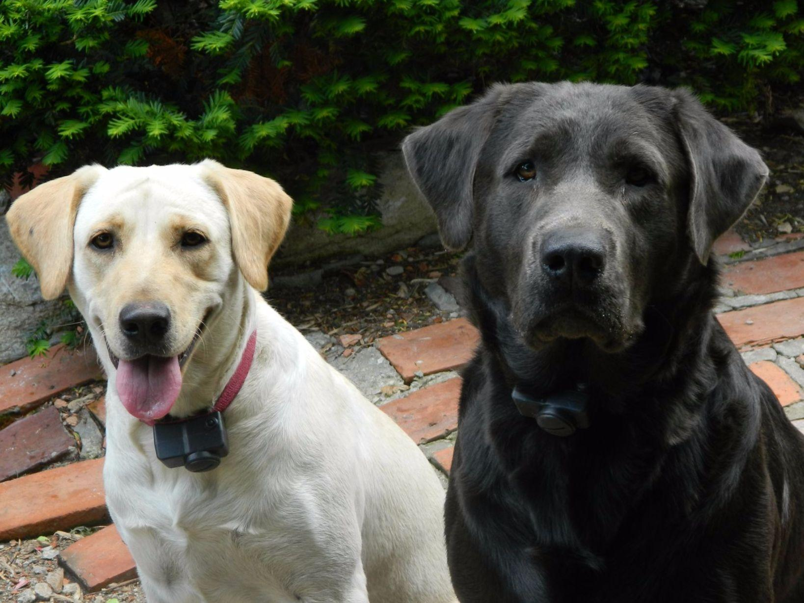 Lab Puppies For Sale In Kansas City Mo