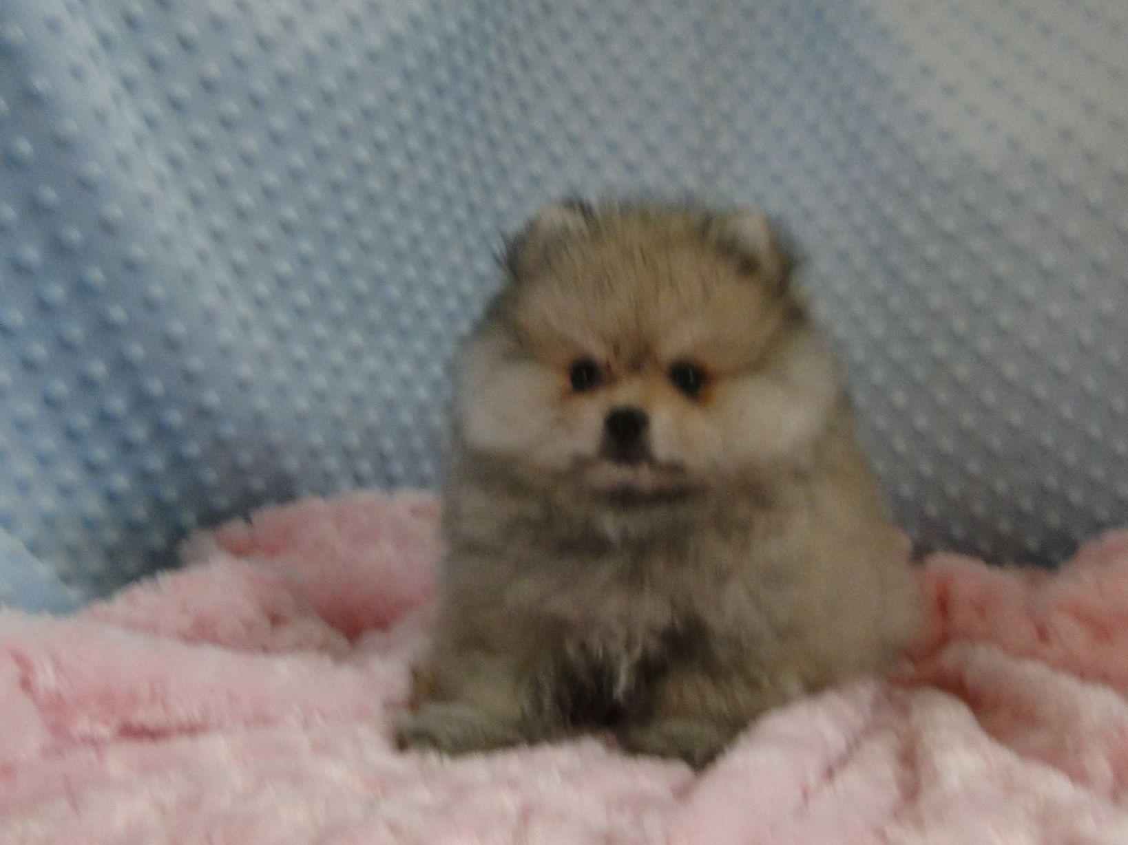 Breezy Hill Poms Puppies For Sale