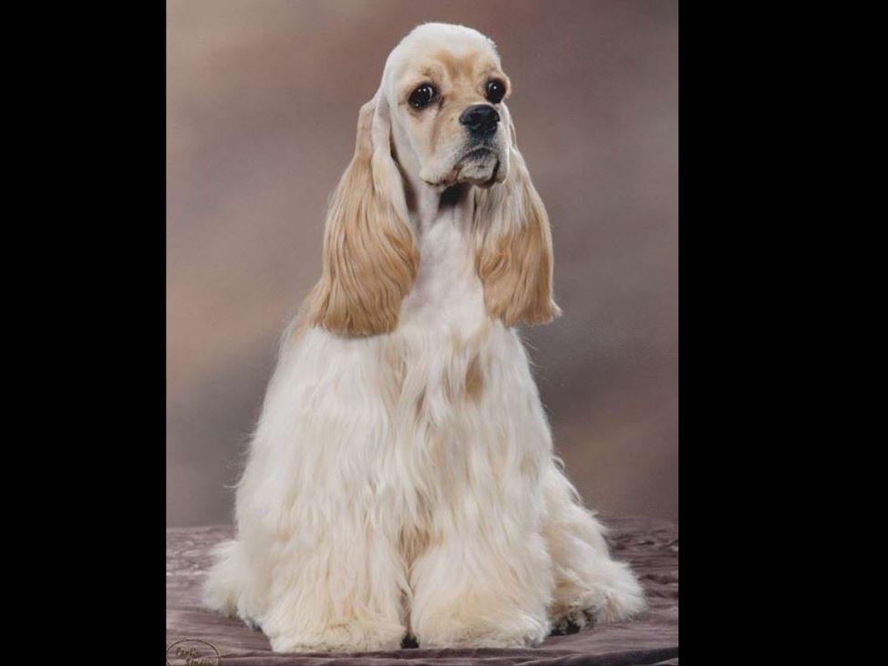 cocker spaniel breeders in nc cocker spaniel puppies for sale akc marketplace 963