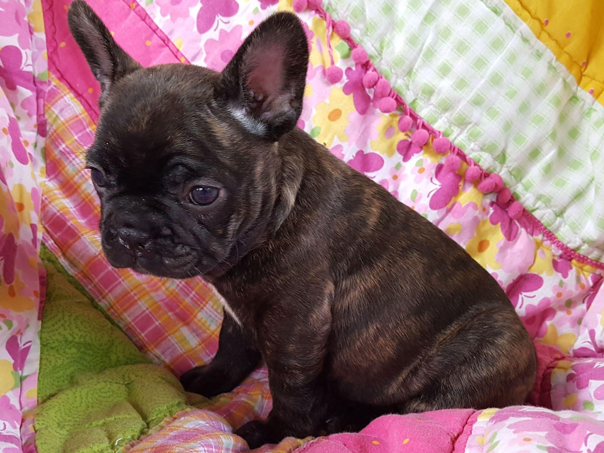 french bulldog rescue south florida french bulldog pups in florida french bulldog puppies 1513