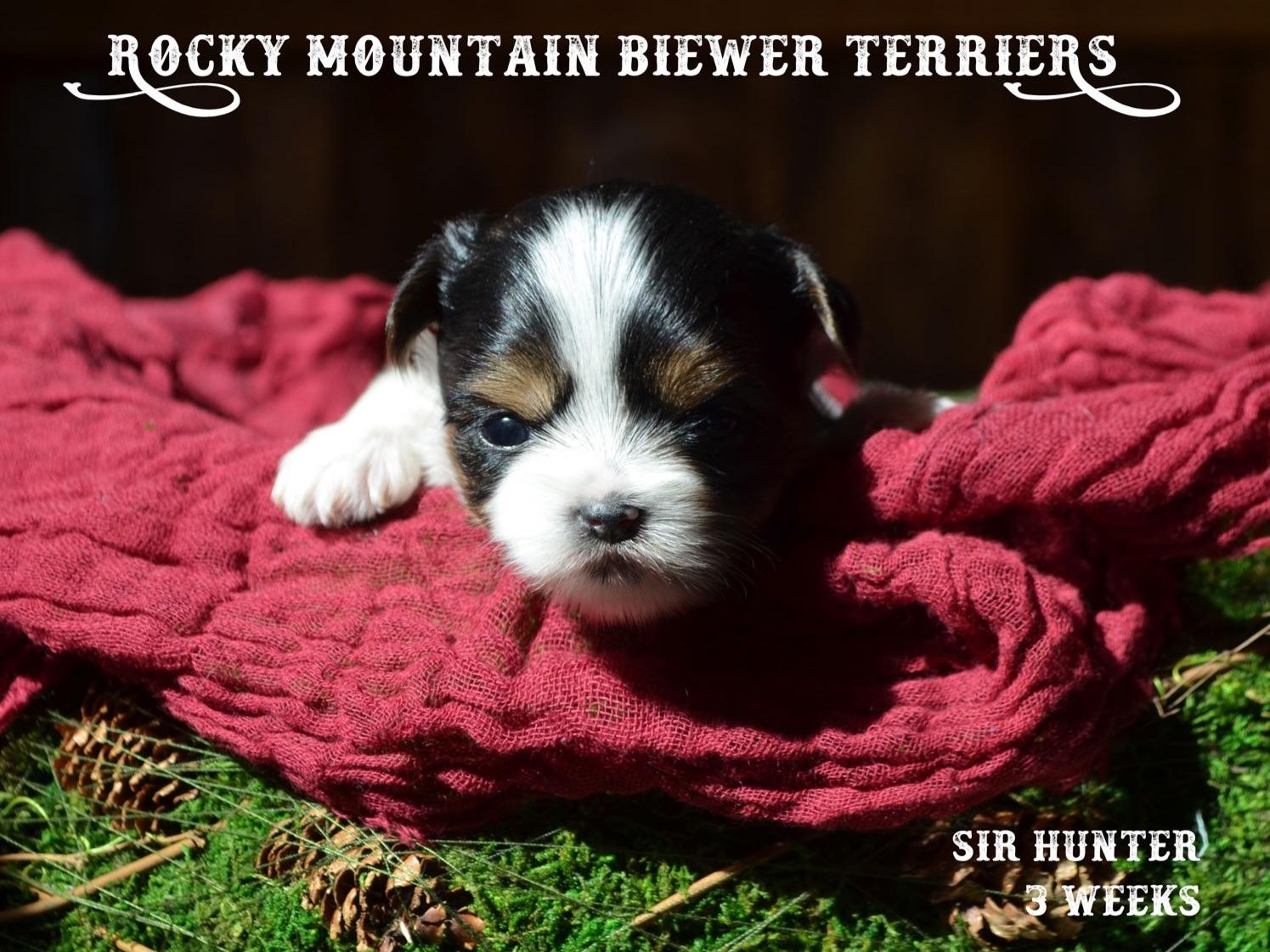 biewer terrier puppies for sale rocky mountain biewer terriers biewer terrier puppies 9448