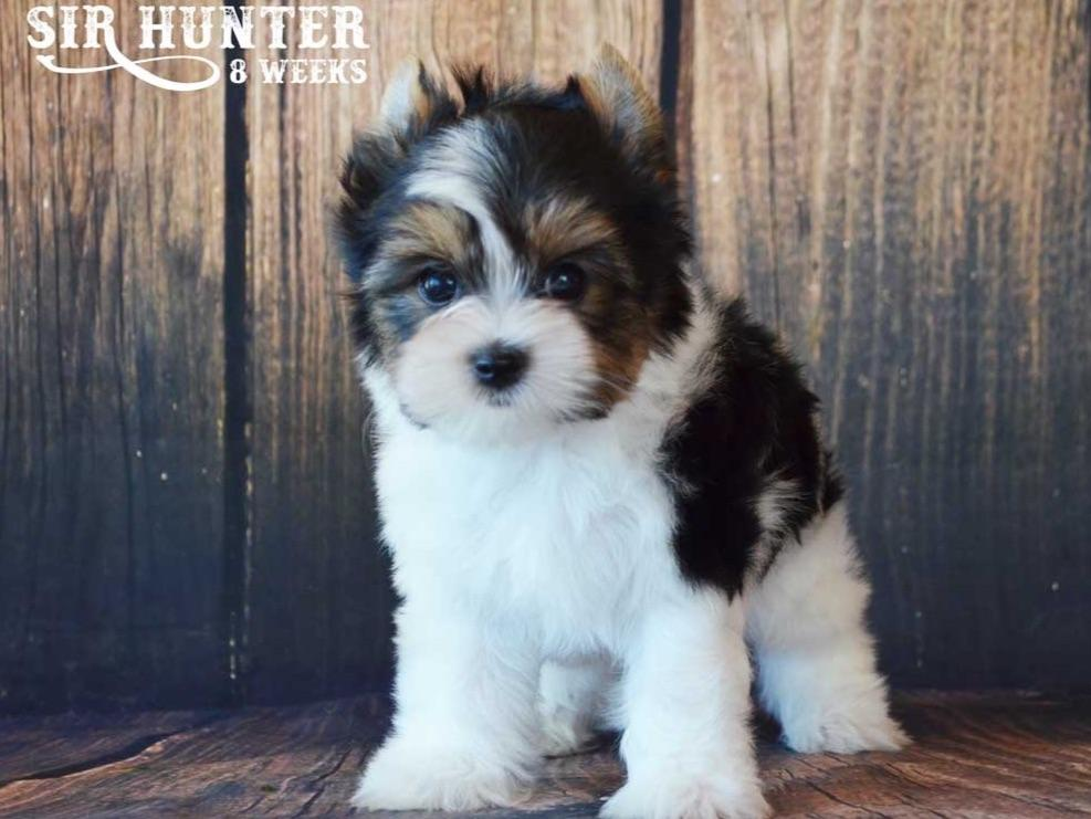 biewer terrier puppies for sale rocky mountain biewer terriers biewer terrier puppies 5438