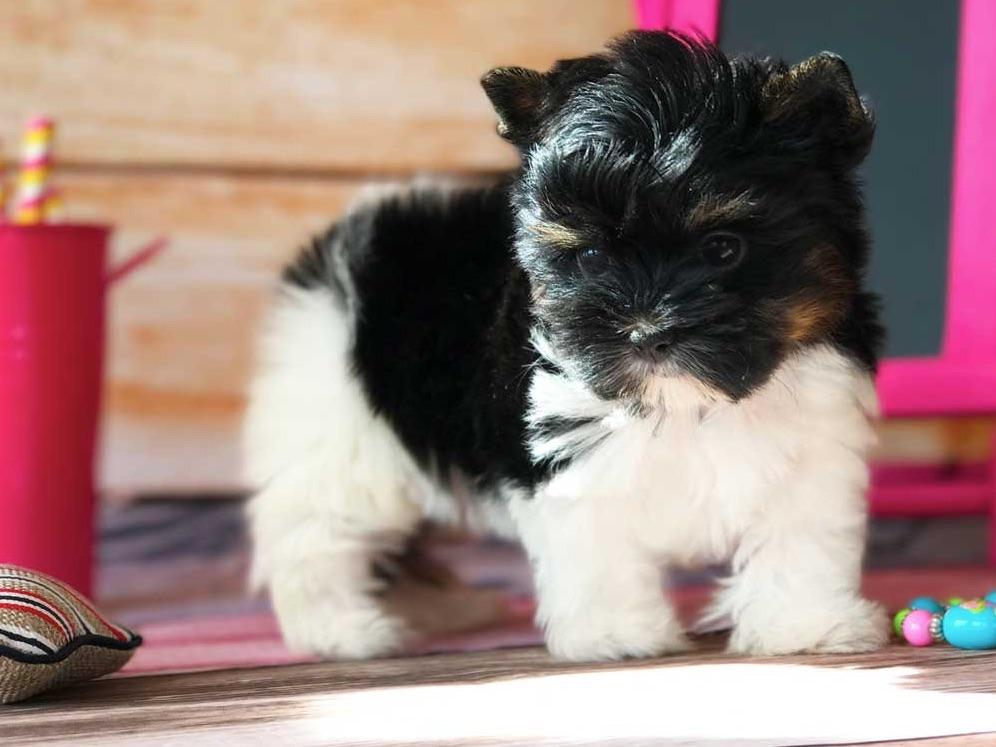 biewer terrier puppies for sale rocky mountain biewer terriers biewer terrier puppies 8529