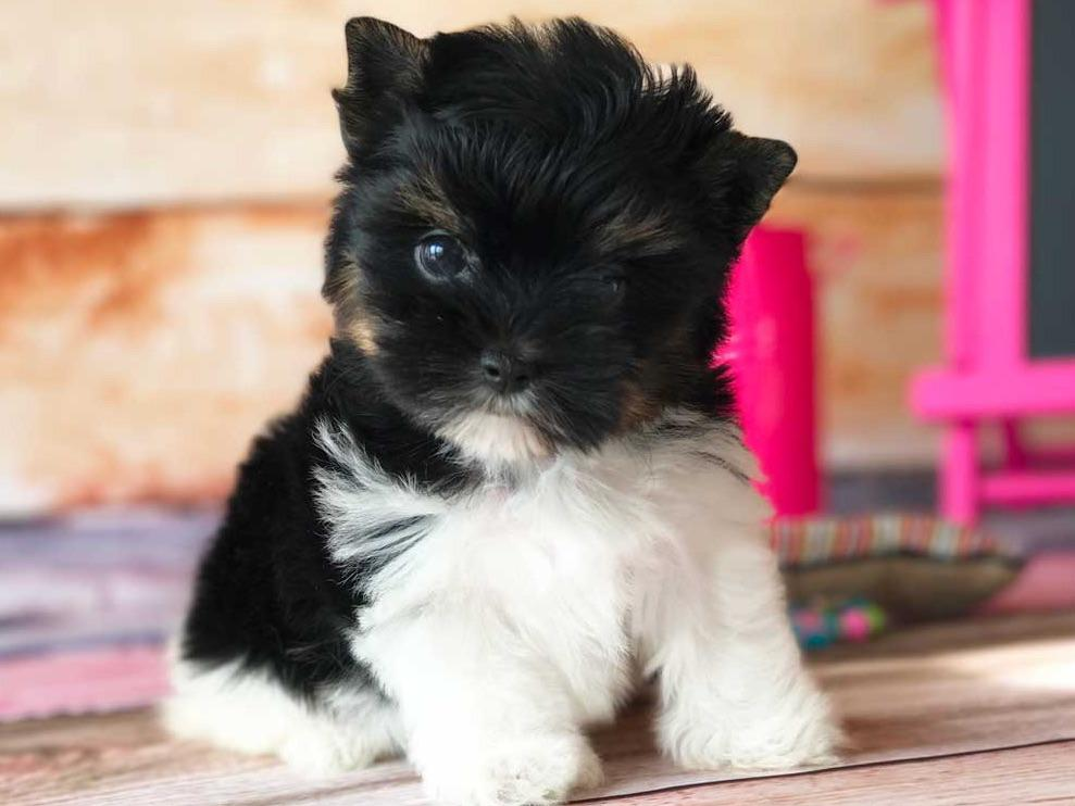 biewer terrier puppies for sale rocky mountain biewer terriers biewer terrier puppies 6044