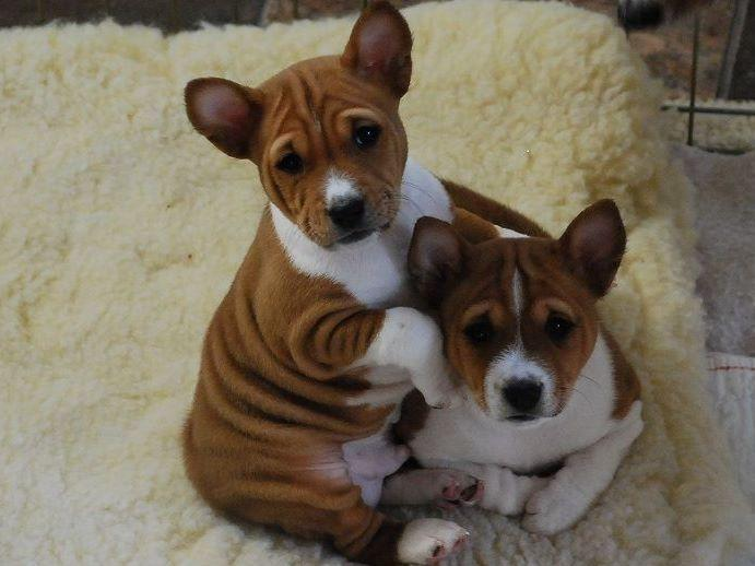 Meisterhaus Sighthounds - Basenjis & Whippets - Puppies For Sale